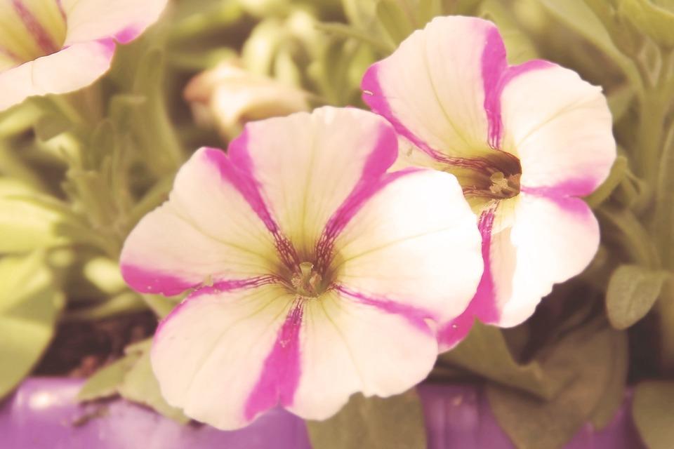 Vintage, Blossom, Bloom, Flowers, Petunia, Retro