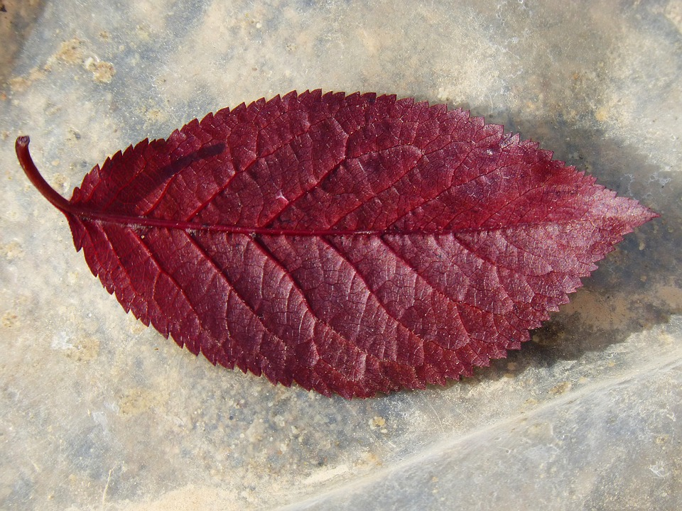 Plum Leaf, Red Leaf, Reverse