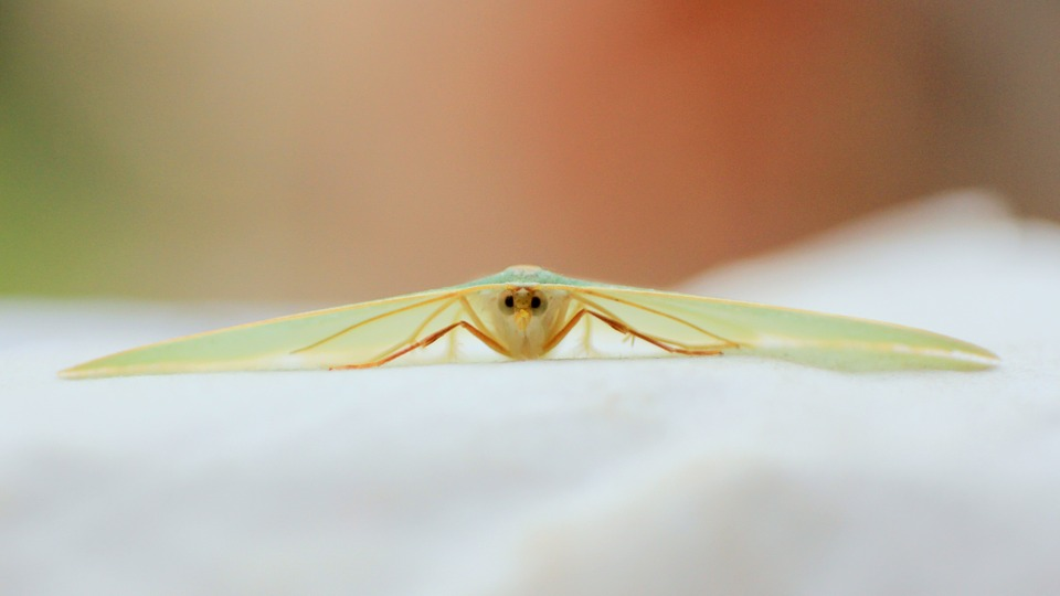 Moth, Green, Macro, Reverse Ring, Small, Beauty, Insect