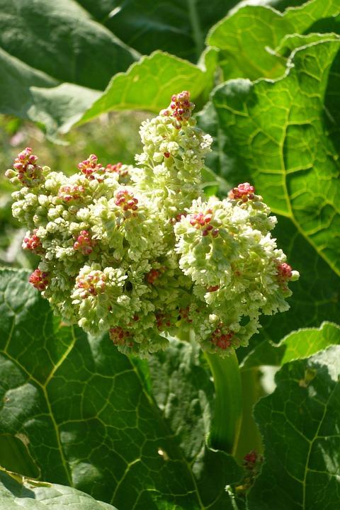 Rhubarb, Rheum Rhaponticum, Flower, Garden