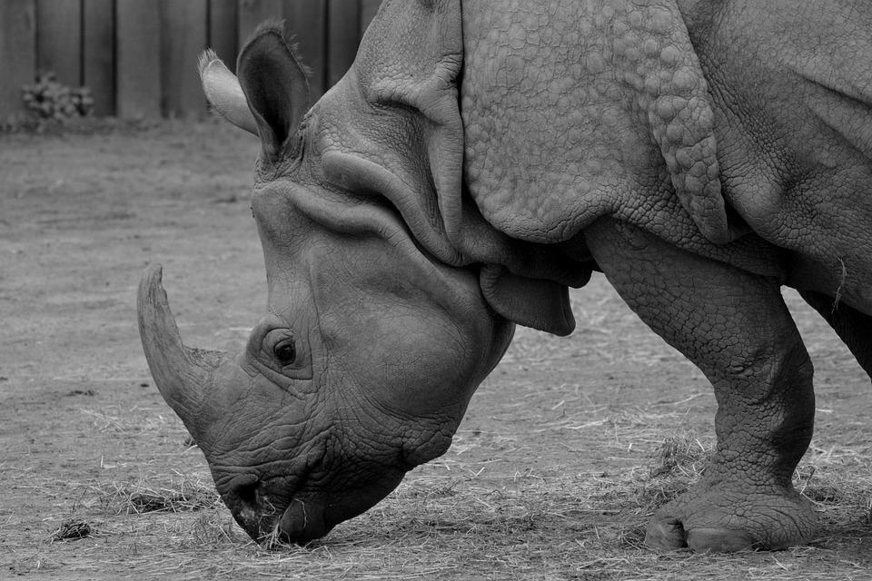 Rhino, Animal, Rhinoceros, Mammal