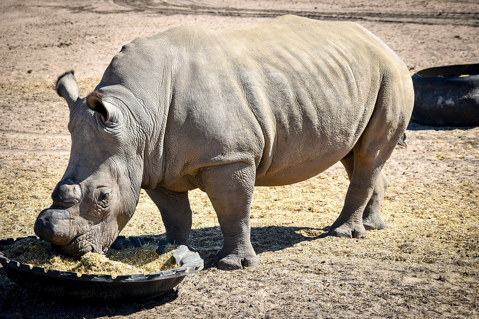 Rhino, Mammal, Animal, Nature, Wildlife