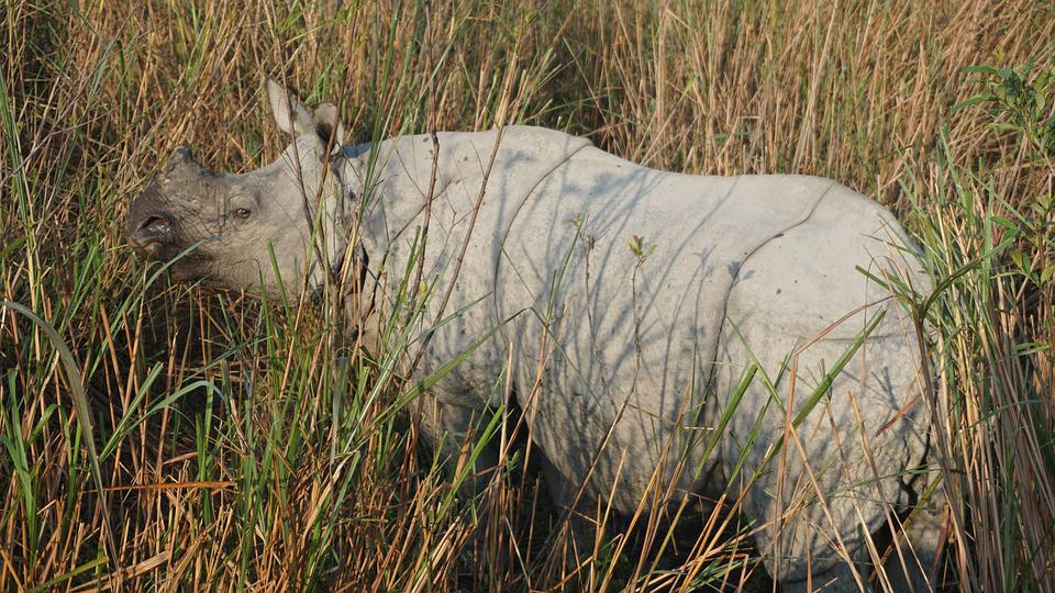 Rhino, Rhinoceros, India, Kaziranga, National Park