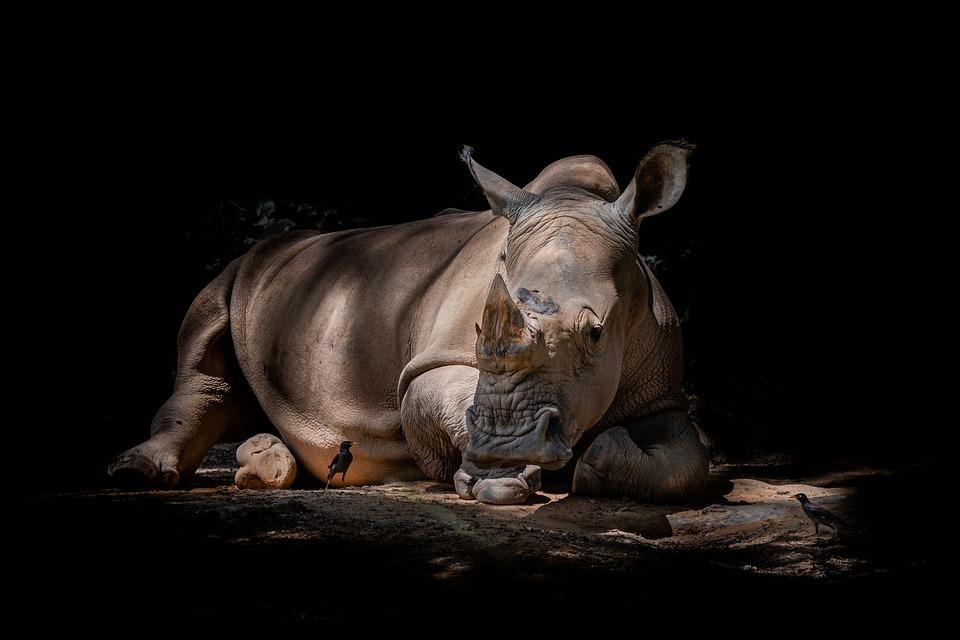 Rhino, Shadows, Silhouette, Outline, Animal, Robin