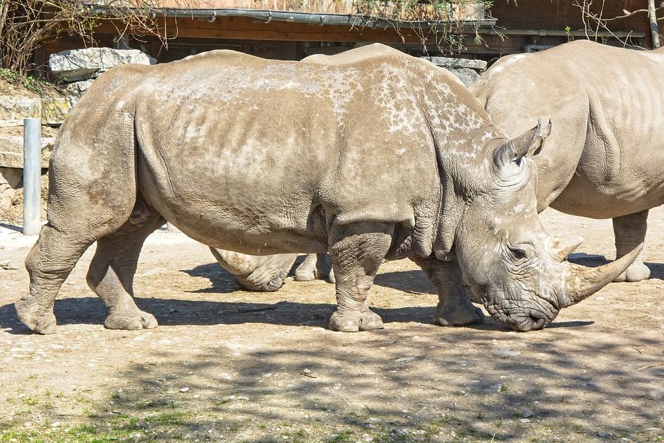 Rhino, Rhinoceros, Big Game, Pachyderm, Wild Animal