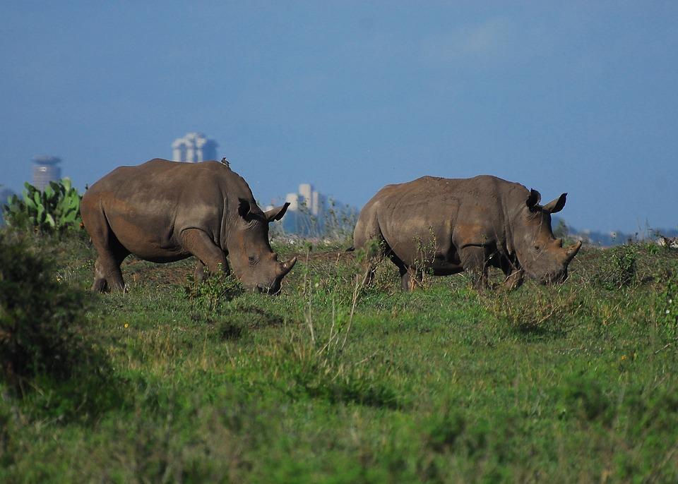 Rhino, Nairobi National Park, Kenya, Safari, Wild