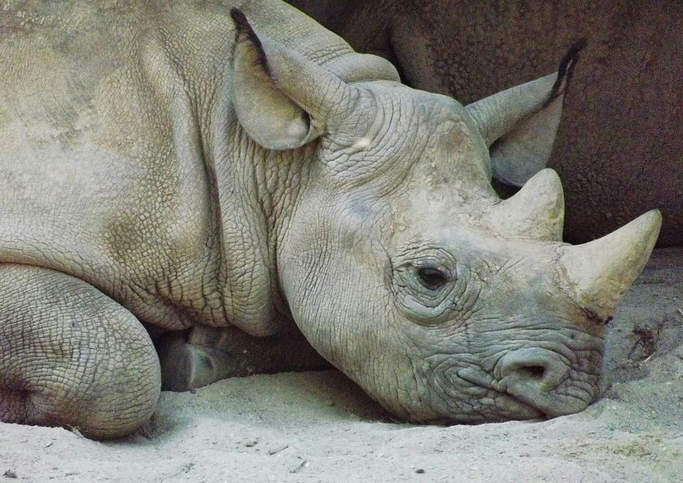 Rhinoceros, Kel, Animals, Animal, Head, Zoo, Mammal