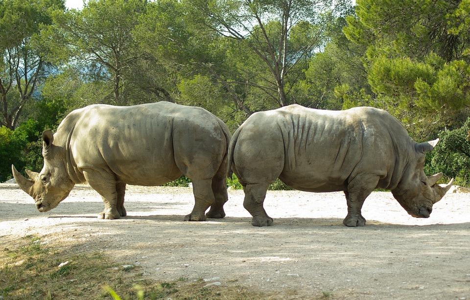 Rhinoceros, Horns, Wild Animal, Opposition