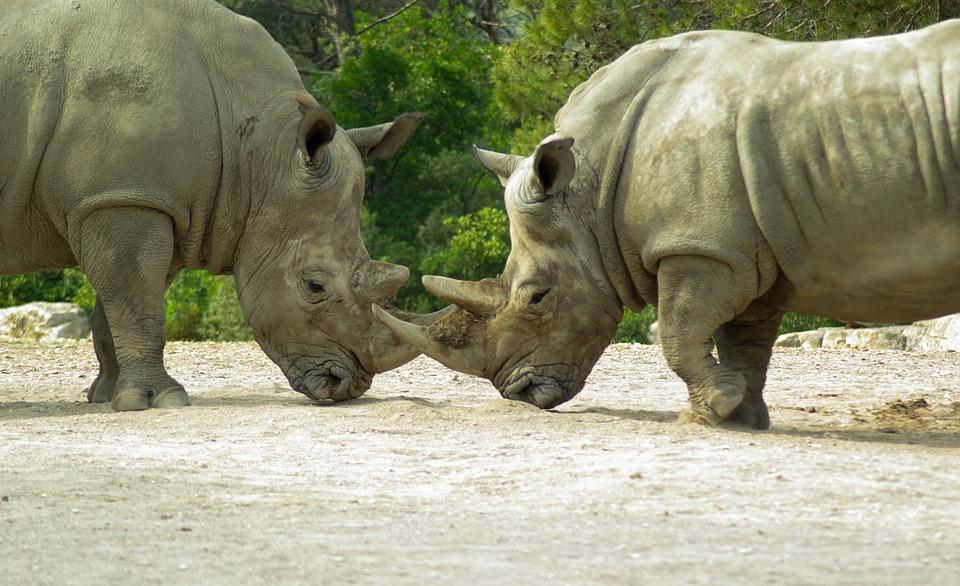 Rhinoceros, Horn, Wild Animal, Fight