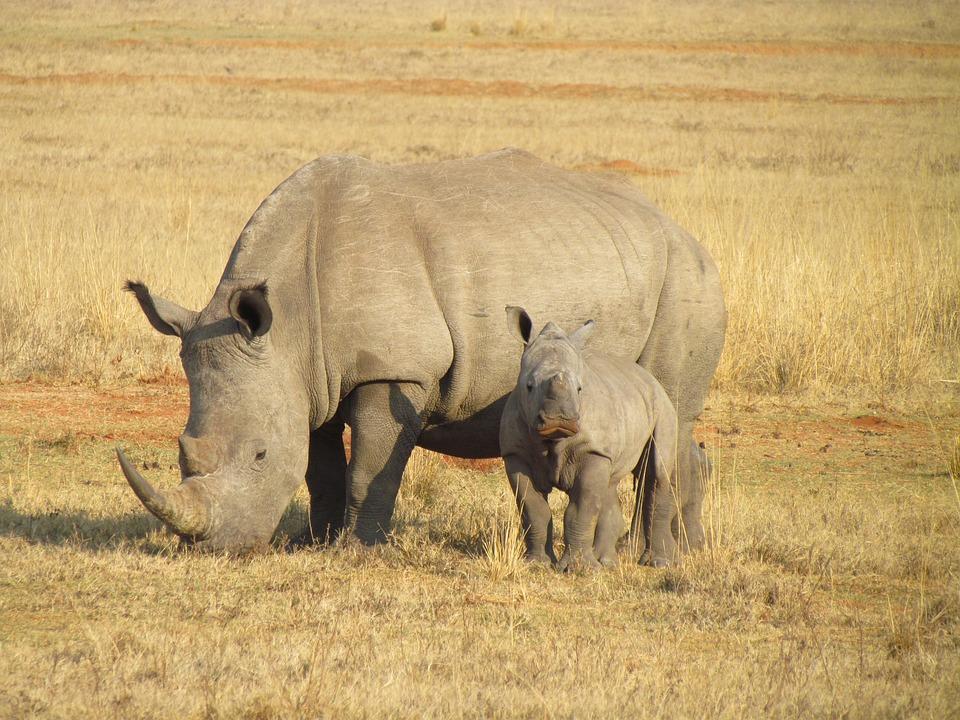Rhinos, Rhinoceroses, Rhinoceros, Baby, Africa