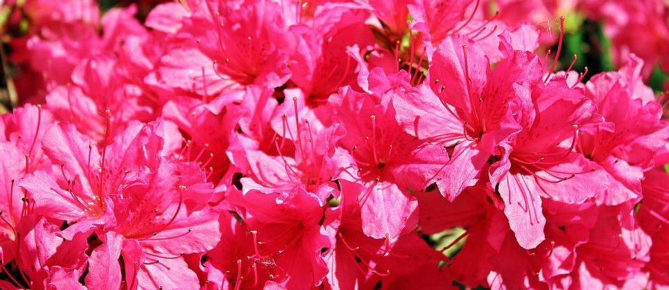 Azalea, Rhododendron, Flowers, Pink Flowers, Plant