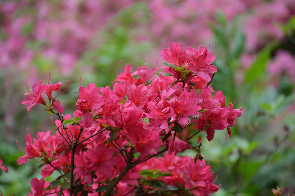 Free Photo Rhododendron Azaleas Flower Pink Azalea Spring Max Pixel