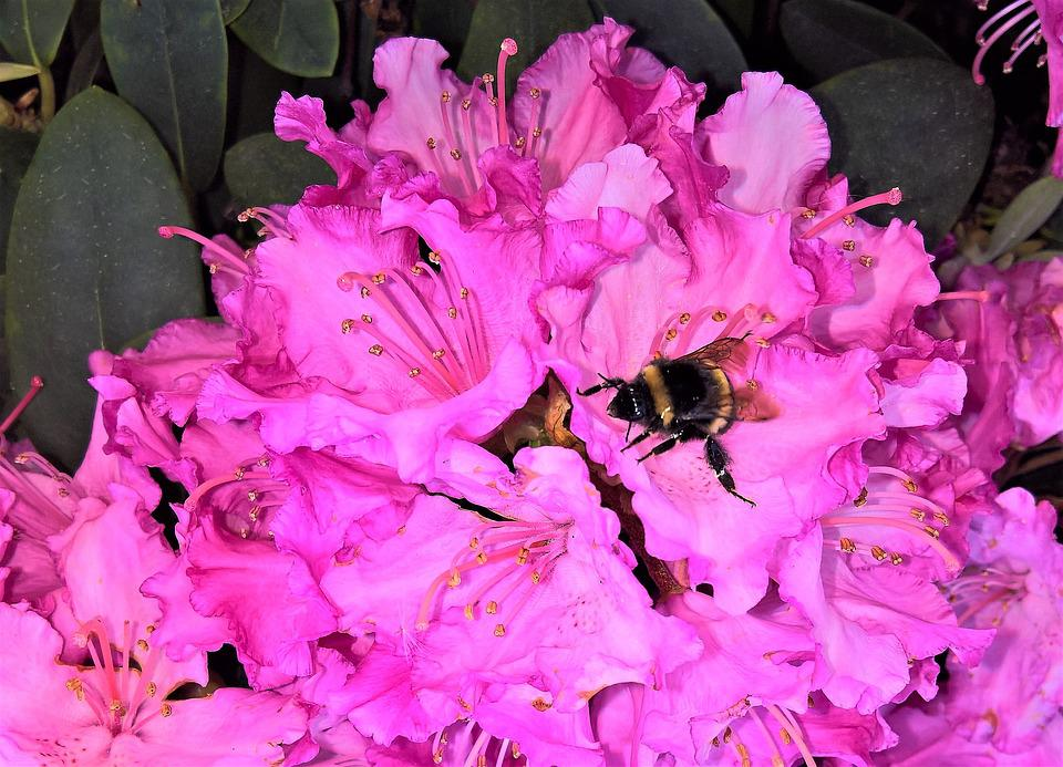 Rhododendron, Rhododendron Flower, Pink Flowers
