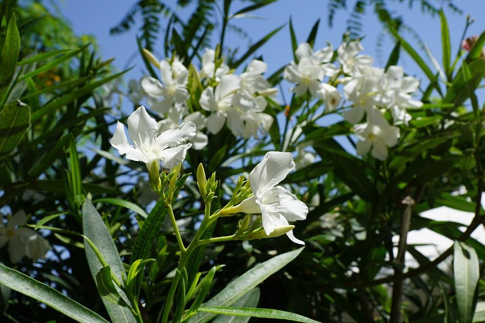 Rhododendron, Flower, Bush, White Blossom, Summer