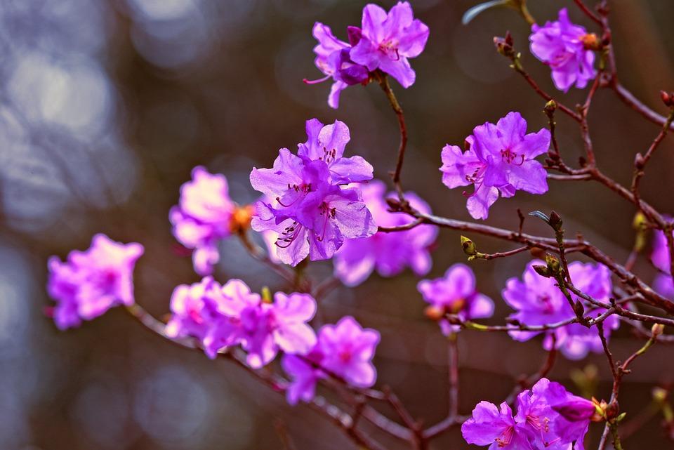 Azalea, Flower, Shrub, Rhododendron, Purple, Lilac