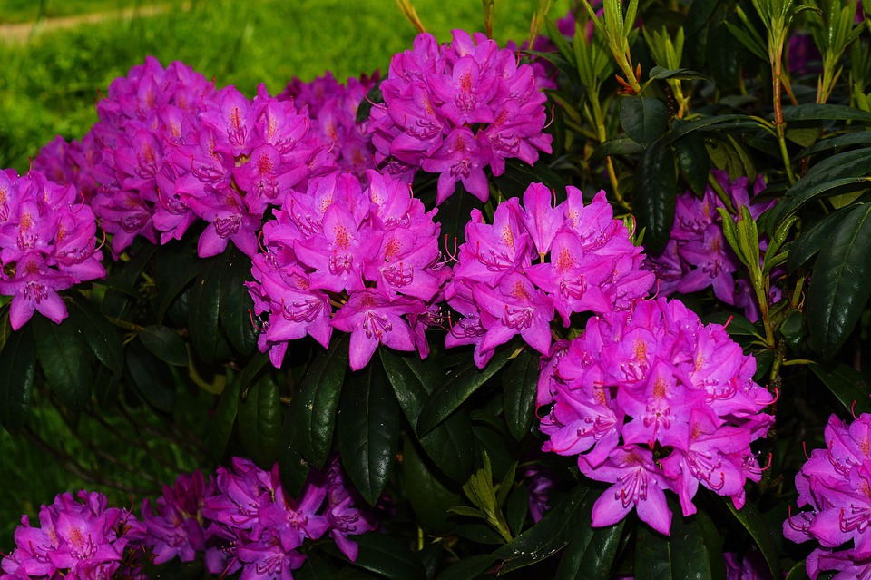 Rhododendrons, Flowers, Bush, Purple, Tender, Beautiful