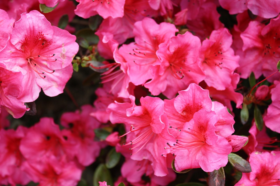 Rhododenron, Pink, Blossom, Bloom, Garden, Flowers