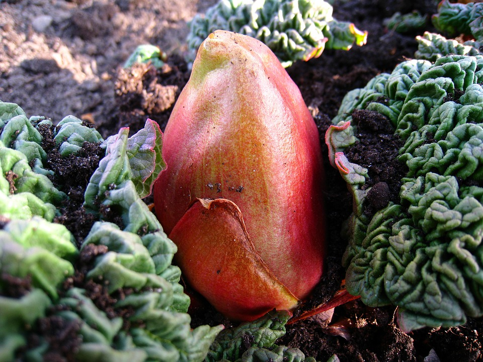 Rhubarb, Bud, Earth, Leaf, Red, Green