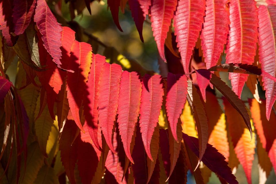 Rhus, Autumn, Leaves, Emerge, Red, Orange Autumn