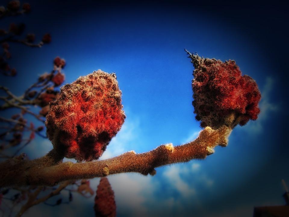 Rhus Typhina, Tree, Plants, Flowering, Blossom, Sky