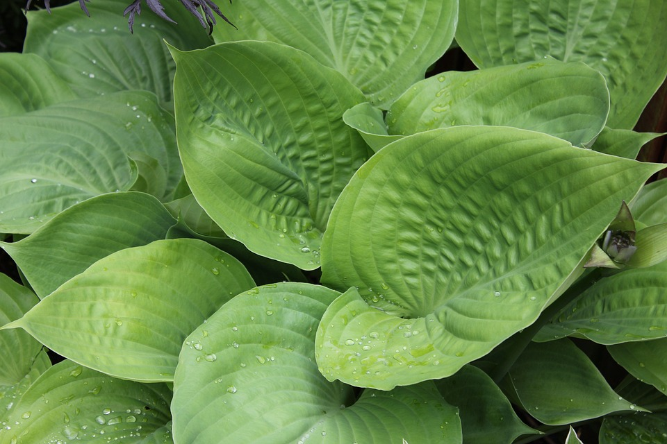 Plantain Lily, Hosta, Leaf, Leaves, Ribbed, Woodland