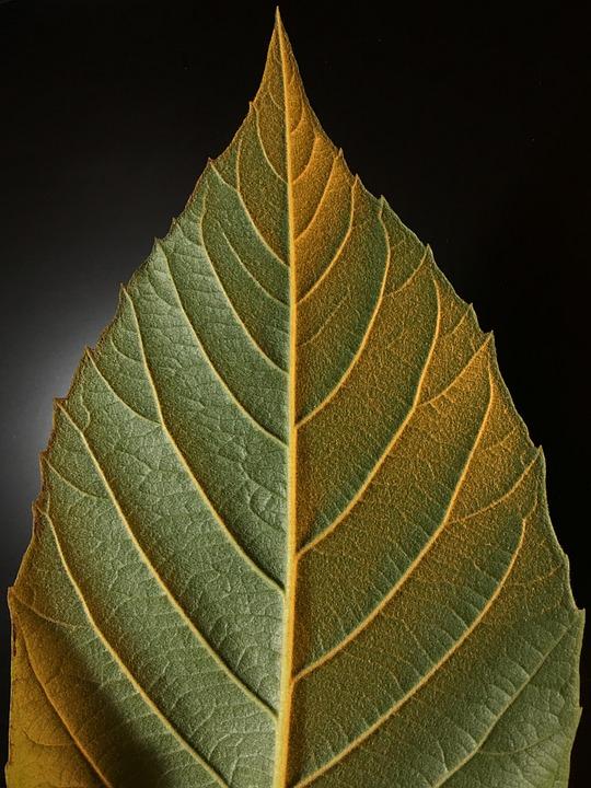 Leaf, Ribbing, Green, Nature, Rib, Plants, Plantation