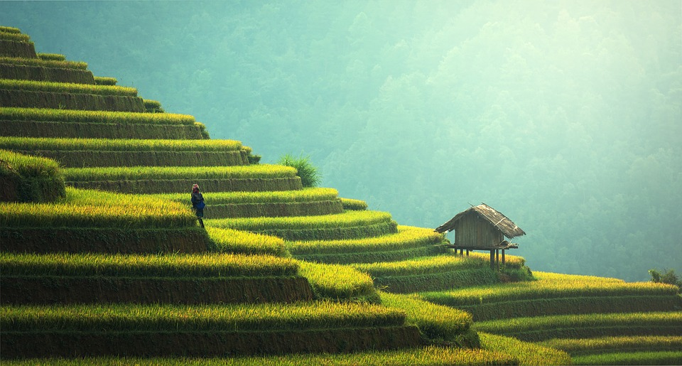 Agriculture, Rice Plantation, Thailand, Rice