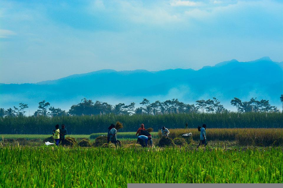 Farm, Paddy, Rice, Field, Green, Asia, Agriculture