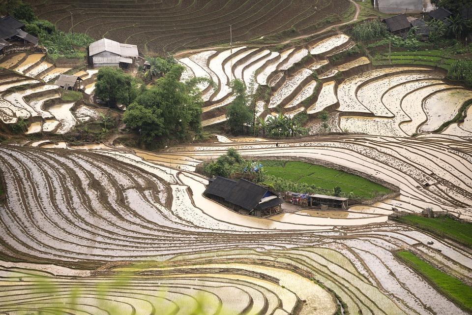Blind Stretch Comb, Lao Cai, Water, Vietnam, Rice