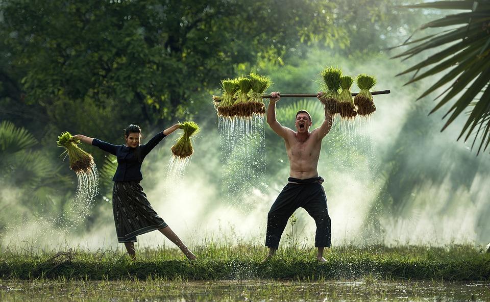 Harvest, Myanmar, Burma, Rice Crust, Vietnam, Farming