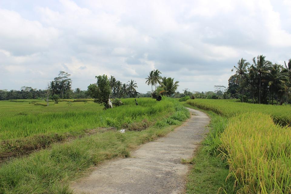 Rice Fields, Farm, Road