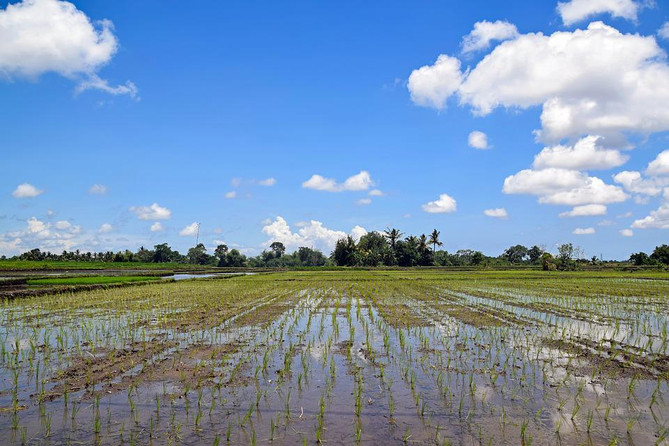 Bali, Indonesia, Travel, Rice Fields, Panorama