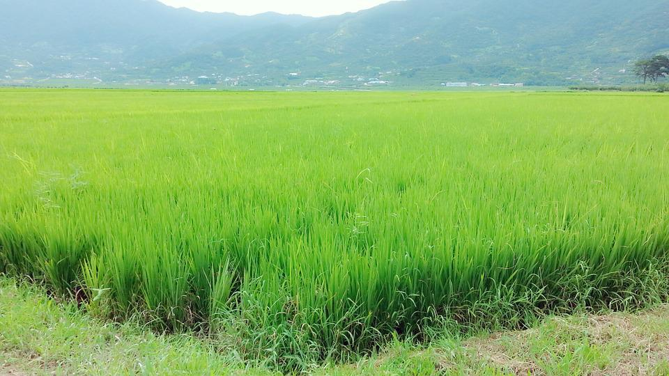 Rice Paddies, Grain, Nature