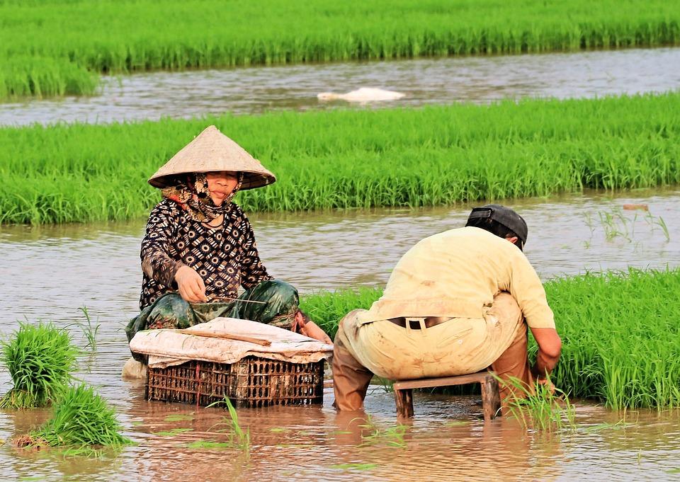 Rice Plants, Spring, Woman, Viet Nam
