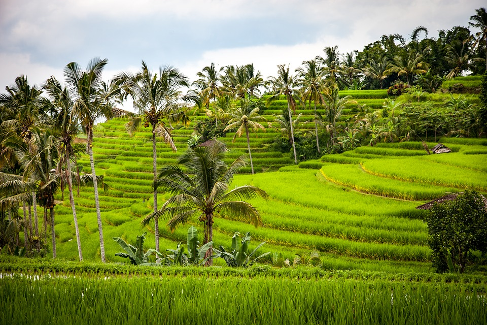 Rice, Rice Terrace, Terraces, Agriculture
