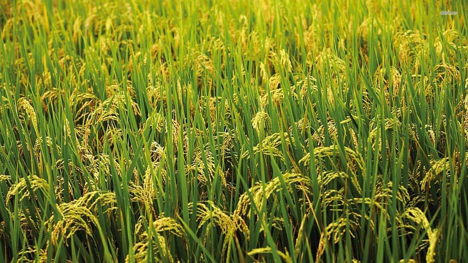 Rice, Village, City
