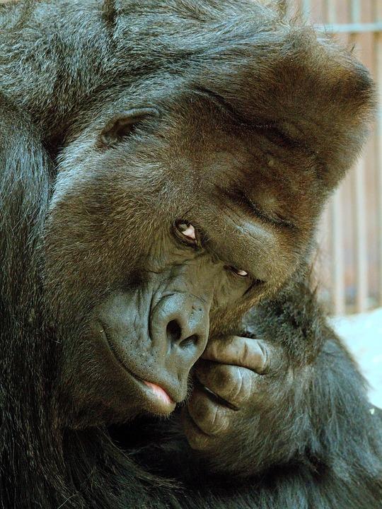 Richard, Gorilla, Animal, Portrait, View