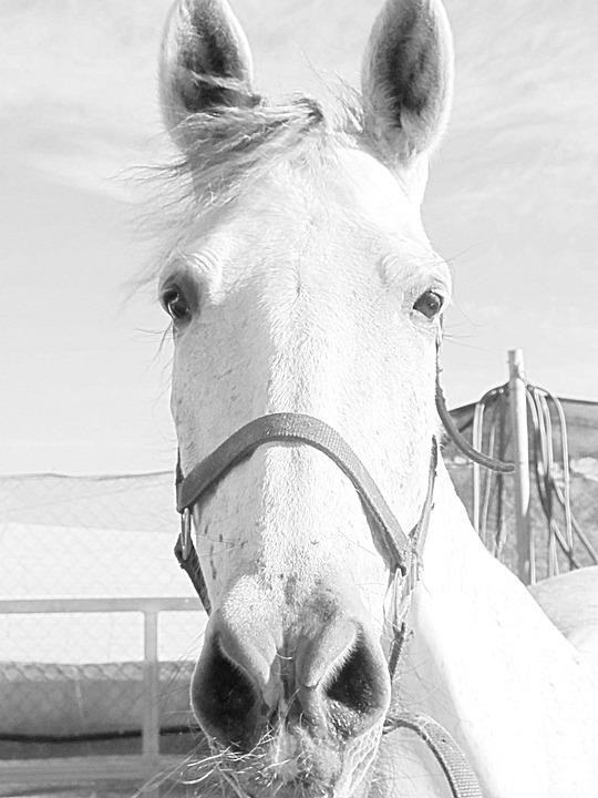 Mare, Horse, Horse Head, Animal, Equestrian, Ride