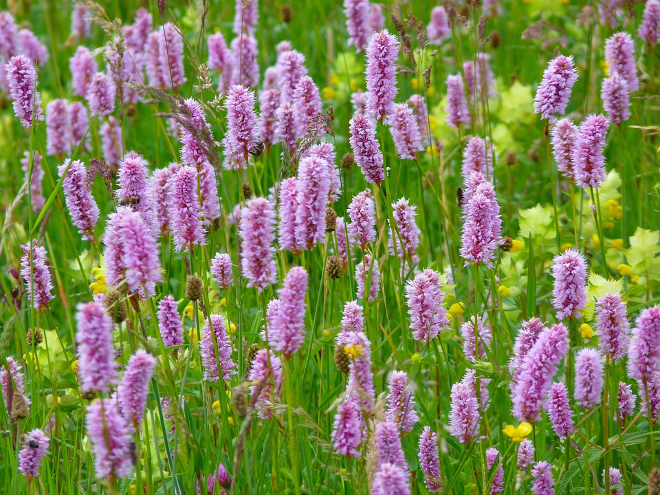 Riedwiese Meadow, Knotweed, Wiesenknöterich, Plant