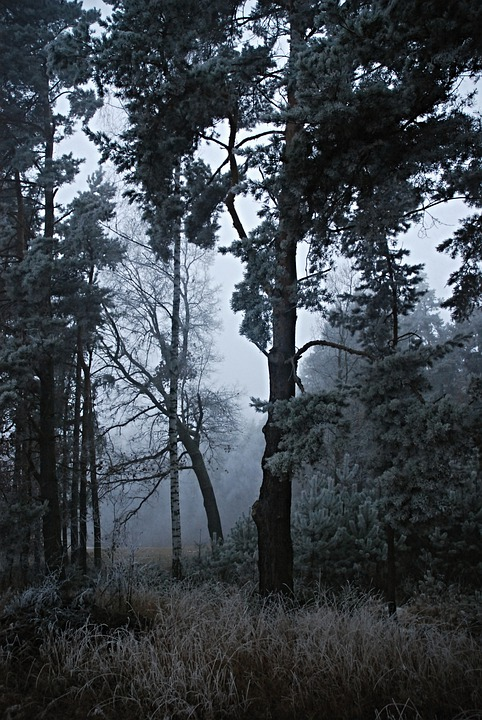 Forest, Trees, Rime, Evening