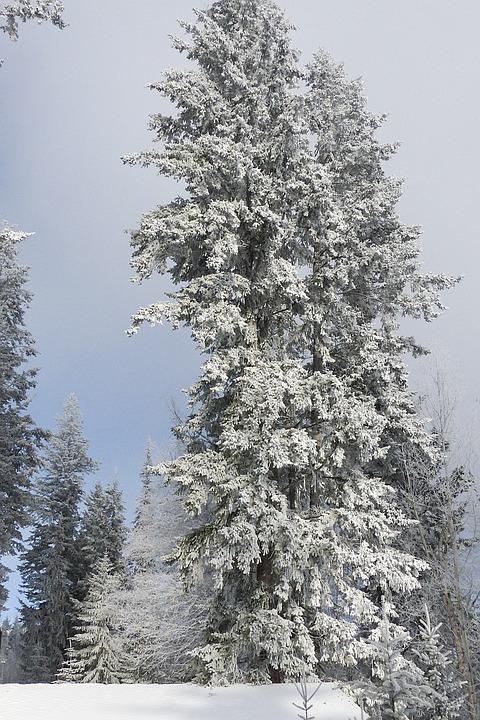 Tree, Fir, Hoarfrost, White Frost, Rime, Frost, Winter