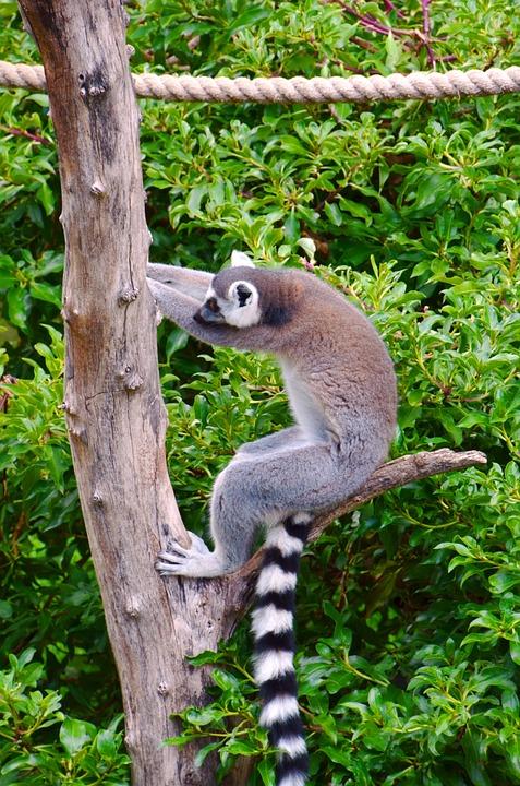 Lemur, Africa, Ring Tailed Lemur, Madagascar, Primates