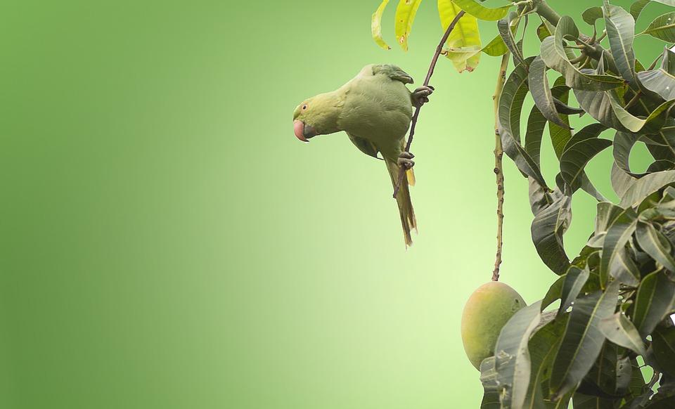 Bird, Rose Ringed Parakeet, Ring-necked Parakeet, Tree