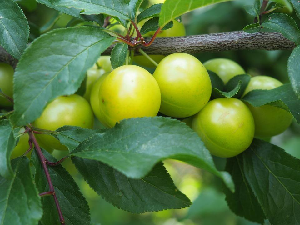 Ringlotte, Yellow Plums, Fruit, Fruit Tree, Tree