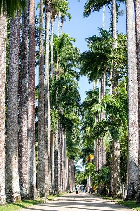 Palm, Botanical Garden, Rio De Janeiro, Brazilwood