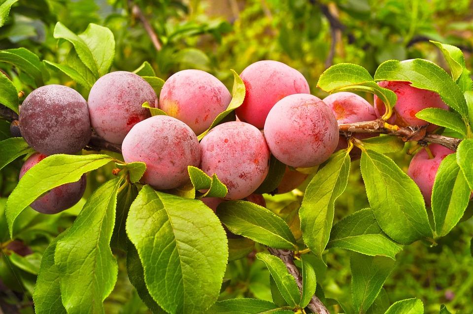 Plums, Berries, Harvest, Branch, Organic, Fresh, Ripe