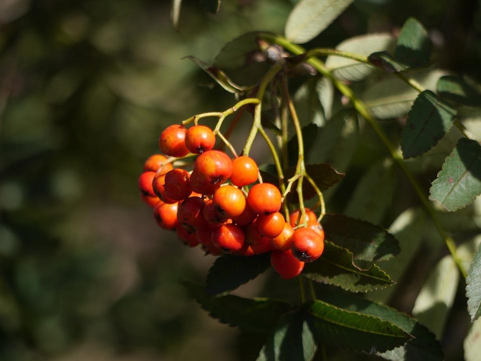 Berries, Rowan, Season, Red, Plant, Ripe, Autumn, Bunch