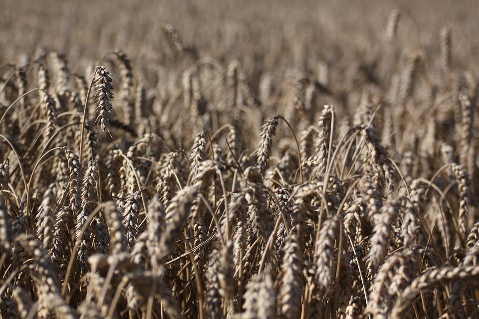 Field, Cereals, Wheat, Spike, Ripe, Wheat Field
