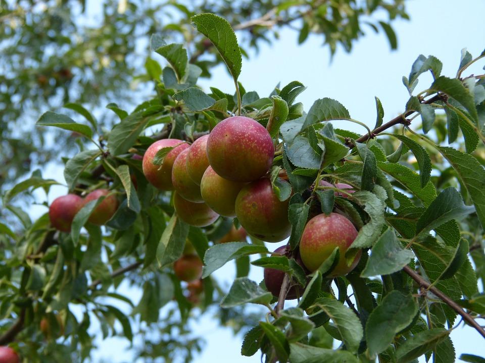 Plums, Plum Tree, Branch, Fruit, Ripe, Tree, Nature