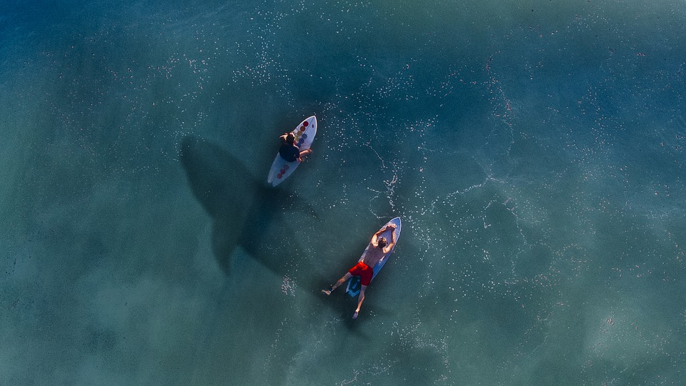 Hai, Rowing, Risk, Paddle, Board, Surfer, Water